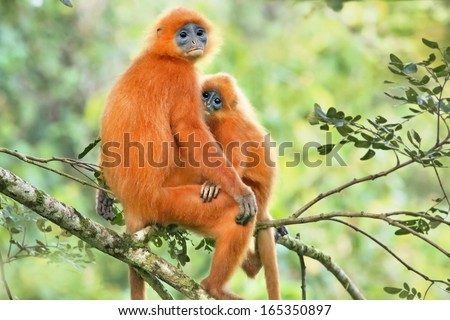 Rare Red or Maroon Leaf Monkey (Presbytis rubicunda) mother & baby in the jungles of Borneo. This is a beautiful and brightly coloured Langur species. Love, affection, and bonding with mom and child. - stock photo