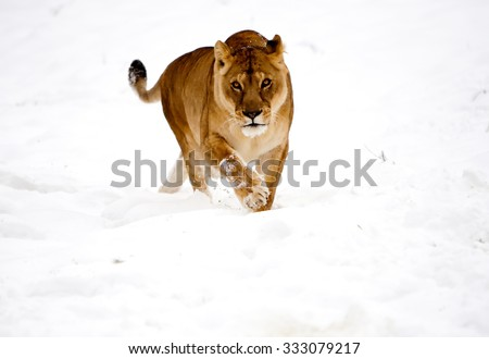 Rare Scene Lioness Playing In The Snow - stock photo