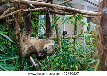 Rare Sloth Bear - stock photo