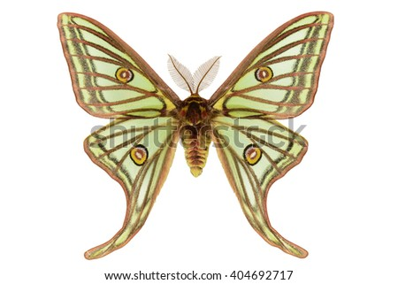 Rare Spanish Moon Moth (Graellsia isabellae, male) isolated on white background - stock photo