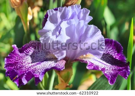 Rare species of fragile iris. - stock photo
