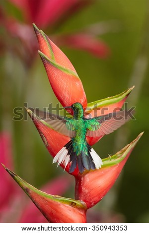 Rare tobago's hummingbird White-tailed Sabrewing Campylopterus ensipennis hovering over red heliconia bihai flower. Colorful green and red blurry background. - stock photo