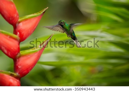 Rare tobago's hummingbird White-tailed Sabrewing Campylopterus ensipennis hovering over red heliconia bihai flower. Colorful green blurry background. - stock photo