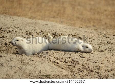 Rare white prairie dogs at Prairie Homestead Historic Site in South Dakota - stock photo