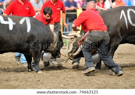 RARON, SWITZERLAND - APRIL 3: Security attendants separate the competitors during the fighting cow championships in Raron, with the prize bells on view on April 3, 2010 in Raron, Switzerland - stock photo