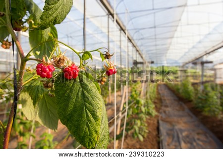 rasberry : several red raspberries with garden background - stock photo