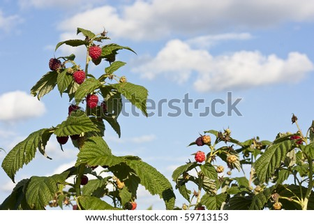 Raspberry bushes on a field with blue sky and some clouds - stock photo