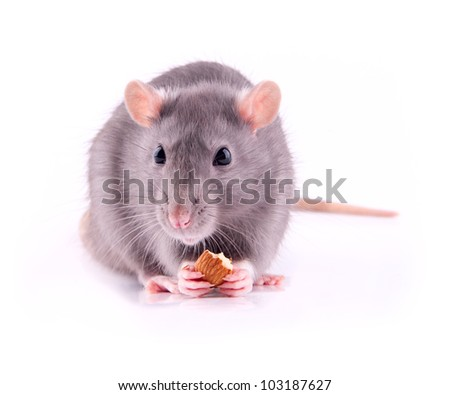 Rat eating almonds - stock photo