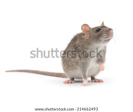 rat  i - stock photo