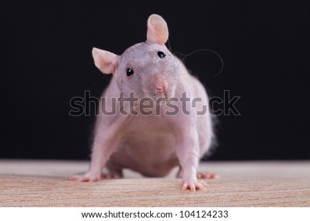 Rat in front of a gray background - stock photo