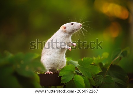 Rat in the garden - stock photo