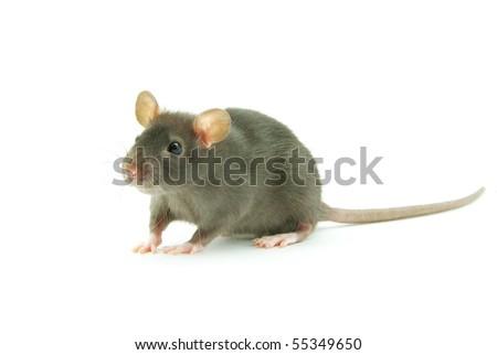 rat  isolated on white - stock photo