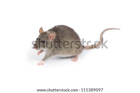 rat isolated on white background - stock photo