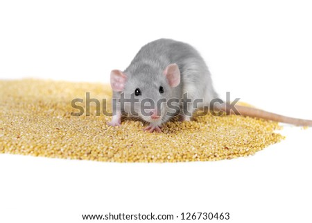 Rat, 3 months, millet on a white background - stock photo