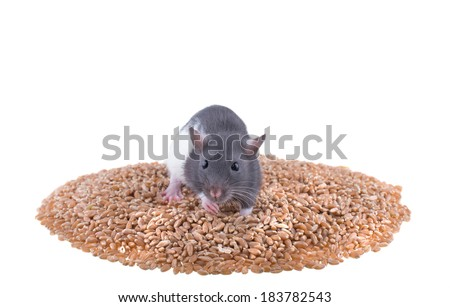 rat sits on a pile of millet. isolated on white background - stock photo