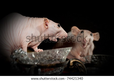 Rat, surprise and the mirror - stock photo