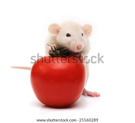Rat with tomato - stock photo