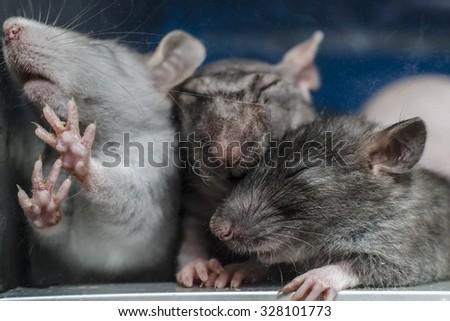 rats in captivity - stock photo