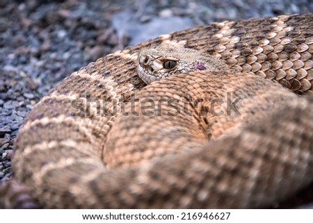 Rattlesnake - closeup of curled up rattlesnake - stock photo