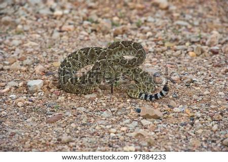Rattlesnake on a Gravel road ready to strike - stock photo