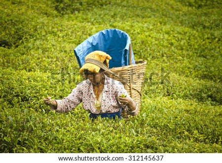 Ravangla, Sikkim , India, 27th May,2015 : An woman is picking up the fresh tea leaves from  the popular Temi Tea Garden at Ravangla. The Temi Tea Garden in Ravangla, established in 1969. - stock photo