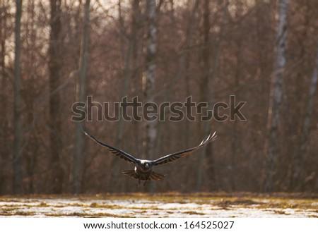 Raven - Corvus corax - stock photo