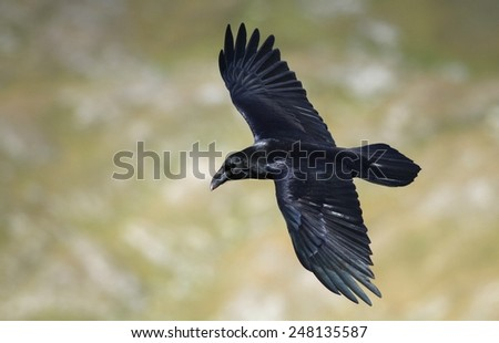 Raven flying - stock photo