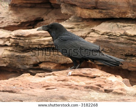 Raven in the Grand Canyon, Arizona - stock photo