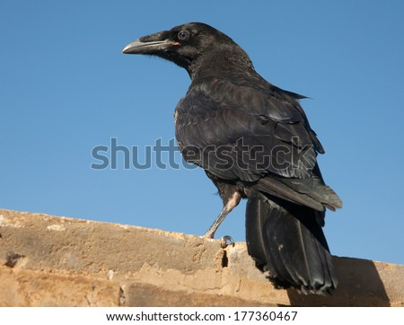 raven sitting on a stone. focus on head and wing - stock photo