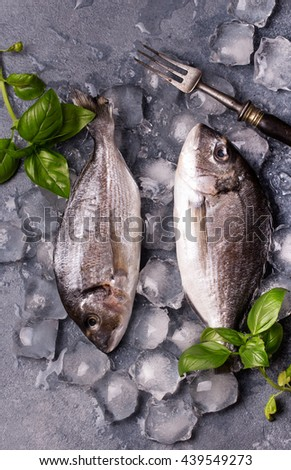 Raw delicious fresh fish on ice on dark gray background. Gilt-head sea bream fish on ice. Decorated with basil. - stock photo