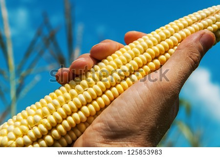 raw maize in hand over field - stock photo