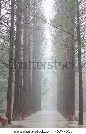 Raw of trees at Nami Island,South Korea where Winter Sonata was shot. - stock photo