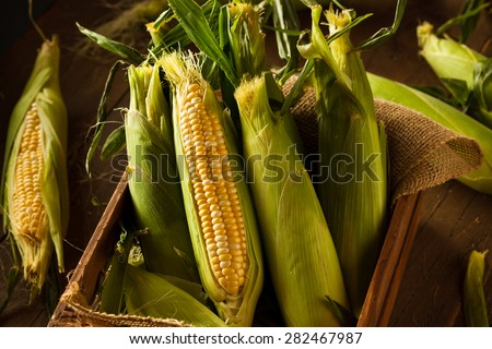Raw Organic Yellow Seet Corn Ready to Cook - stock photo
