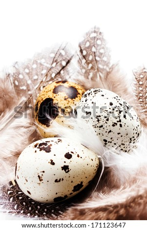 Raw quail eggs with feathers isolated on white background close up. HQ photo of quail eggs with copyspace for text. - stock photo