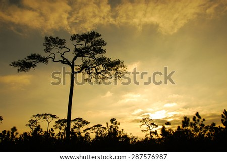 Ray of light breaks through the dramatic sky at sunset and hit pine tree solitary - stock photo
