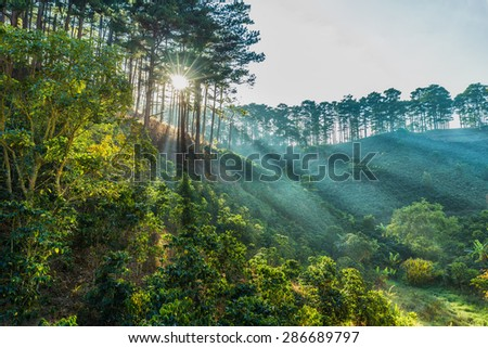 Ray of sunshine early in Da Lat pine forest on a morning when I happened to pass through the pine forests on the hills, the ray beam through great. - stock photo