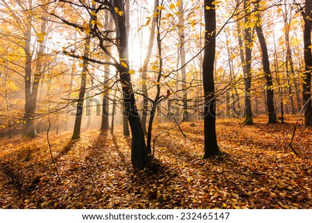 rays of light in autumn beech forest - stock photo