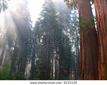 Rays of sun streaming into a forest of sequoias - stock photo