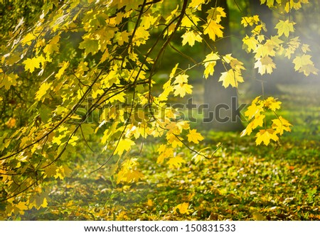 Rays of the autumn sun on the leaves - stock photo