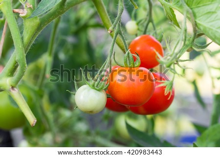 Ready red tomatoes at greenhouse, closeup - stock photo