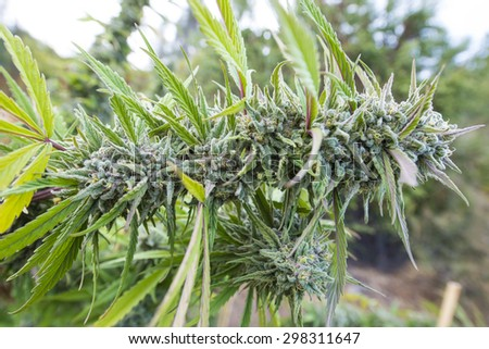 Ready-to-pick medical marijuana, legally grown in California, USA. - stock photo