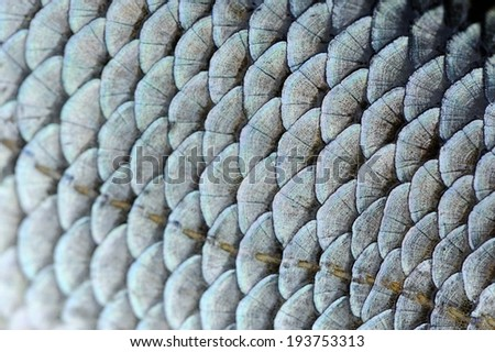 Real Roach Fish Scales Macro Texture - stock photo