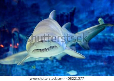 Real shark at The Beijing Aquarium, part of the Beijing Zoo. - stock photo
