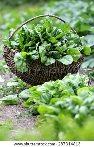 real spinach from bio growing - stock photo