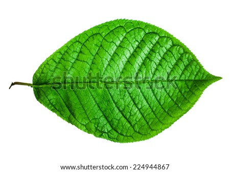 Realistic green leaf, isolated on white - stock photo