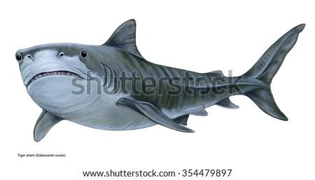 realistic illustration of tiger shark (Galeocerdo cuvier) - stock photo