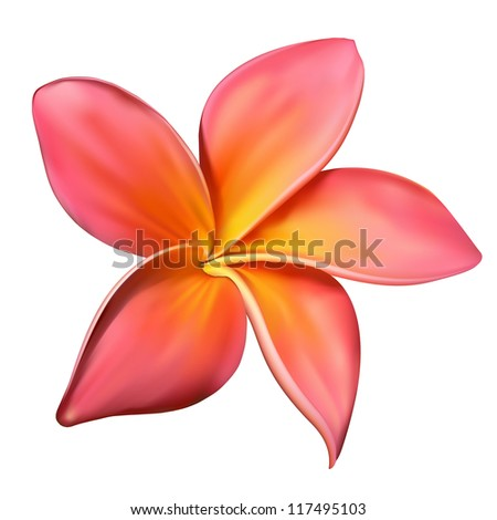Realistic pink plumeria flower isolated on white background - stock photo