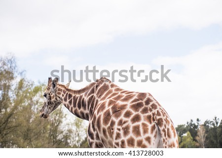 Rear part of a reticulated giraffe . In the background forest landscape - stock photo