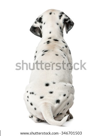 Rear view of a Dalmatian puppy sitting in front of a white background - stock photo