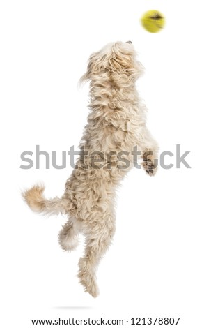 Rear view of a dog jumping after a flying ball against white background - stock photo
